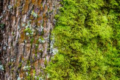 Moss and lichen grow on a tree trunk in a coastal rainforest royalty free stock photo