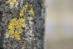Moss and lichen growing on the bark of a tree Royalty Free Stock Photo