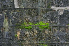 Moss lichen. In rock wall Royalty Free Stock Photo