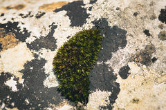 Moss and lichen. On rocks Royalty Free Stock Images