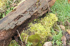 Moss and lichen on a rotting log in a wildlife garden Royalty Free Stock Image