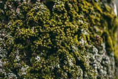 Moss and lichen texture on oak tree bark.  Organic abstract texture and background for design. Closeup view of oak tree bark. Moss and lichen texture on oak Royalty Free Stock Photos