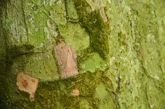 Moss and lichen texture on tree trunk Stock Image