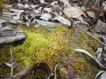 Silver Green Moss. Light green moss and dry leaves Stock Photo