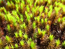 Moss like plant Stock Images