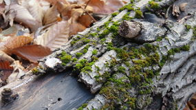 Moss on Log. Down tree growing moss n the forests Royalty Free Stock Photo