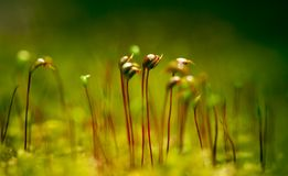Moss Macro. Macro shot of growing moss royalty free stock photos