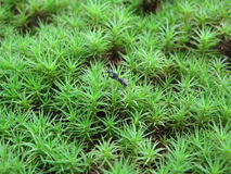 Moss macro Royalty Free Stock Images