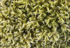 Moss macro Royalty Free Stock Image