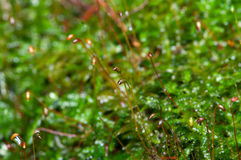 Moss Macro Royalty Free Stock Photo