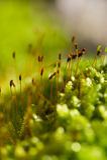 Moss in macro Royalty Free Stock Photo