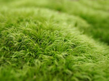 Moss Macro Background verde Fotos de Stock
