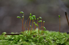 Moss Macro. Macro shot of growing moss spring time Stock Photo