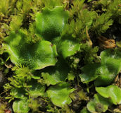 Moss (Marchantia polymorpha) Royalty Free Stock Photography