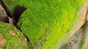 Moss Massively stock afbeelding