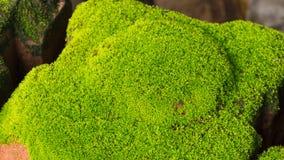 Moss Massively stock foto's