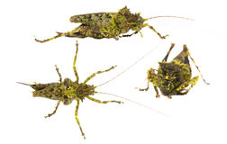 Moss mimic  Katydid Stock Photos