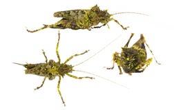 Moss mimic  Katydid. (Haemodiasma tessellata Stock Photos