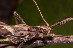 Moss Mimic Stick Insect - Anthropoda royalty-vrije stock foto