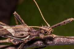 Moss Mimic Stick Insect - Anthropoda Royalty Free Stock Photo
