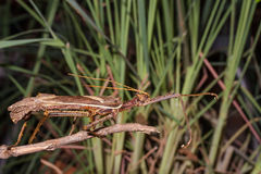 Moss Mimic Stick Insect - Anthropoda Royalty Free Stock Photography