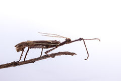 Moss Mimic Stick Insect - Anthropoda Stock Images