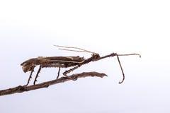 Moss Mimic Stick Insect - atrópodos Imagenes de archivo