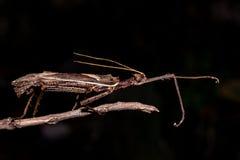 Moss Mimic Stick Insect - atrópodos Foto de archivo libre de regalías