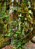 Moss Mood. Moss covered tree at House Rock campground - near Upper Soda, OR royalty free stock images