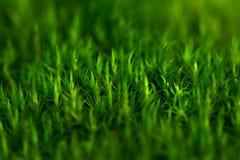 Moss mossy bakgrund Fotografering för Bildbyråer