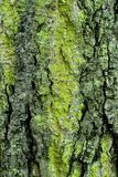 Moss on oak Stock Photography
