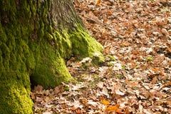 Moss on oak tree Royalty Free Stock Photo