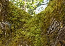 Moss on the  Oak Royalty Free Stock Image