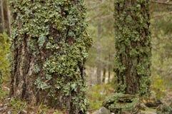 moss objętych drzewa Zdjęcie Stock