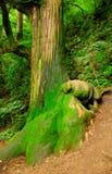 moss objętych drzewo Fotografia Stock