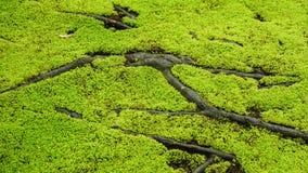 Moss och rotar royaltyfria bilder