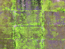 Moss. On the old cement wall for background Stock Photo