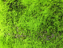 Moss. On the old cement wall for background Stock Photography