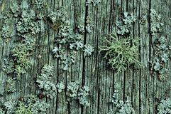 moss on an old fence, looks like corals beautiful old retro old age time age old beautiful beautiful gray gray wonderful perfect royalty free stock photo