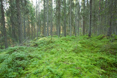 Moss in old forest Stock Photos