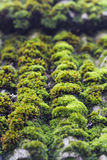 Moss on old roof tiles Royalty Free Stock Image