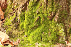 Moss on the old tree Royalty Free Stock Image