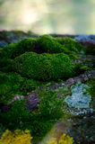 The moss on old tree. Beautiful green moss growing on the old tree in the forest Royalty Free Stock Images