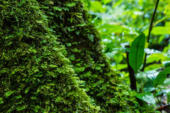Moss on old tree in forest Royalty Free Stock Photo