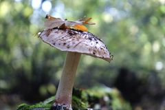 Mushroom boletus in the autumn forest. Stock Photography
