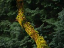 Moss on an old tree Stock Images