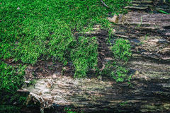 Moss on old wood surfase Royalty Free Stock Image