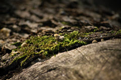 Moss on an old wooden log. Close-up shot of moss on an old wooden log Royalty Free Stock Image