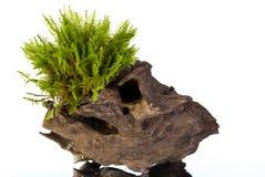 Moss On A Stump Stock Image