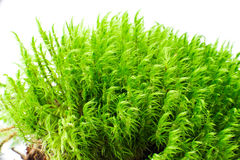 Moss  over white Royalty Free Stock Photos